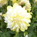 Dahlia_Hollyhill_Lemon_Ice_1.jpg
