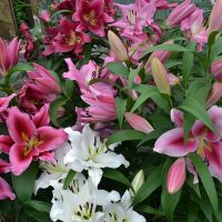 Pink/white 'Tree Lily bulbs' pack of 7 bulbs.