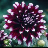 Dahlia Cactus - Shop Now