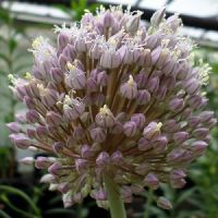 Allium ampeloprasum Rose Picture
