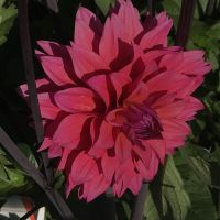 New Dahlias - Shop Now