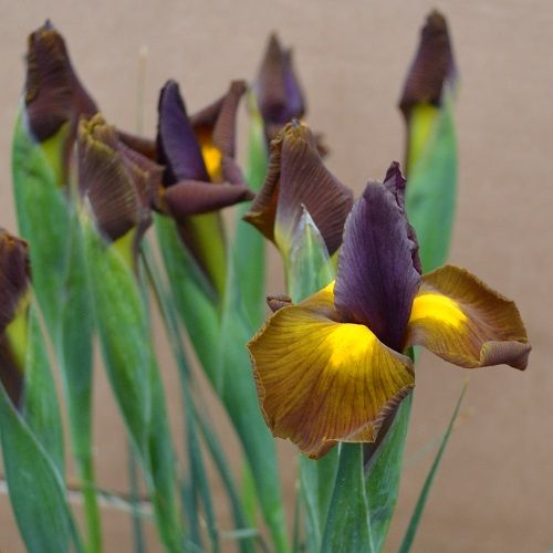 Iris Autumn Beauty