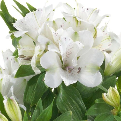Alstroemeria Inticancha White Magic