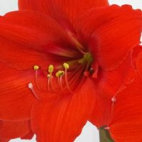 Amaryllis Red Rival
