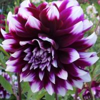 Dahlia Medium Decorative - Shop Now