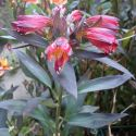 Alstroemeria_Indian_Summer_2.jpg