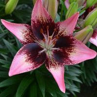 Dwarf Asiatic Lilies - Shop Now