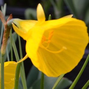 Dwarf Narcissus Golden bells
