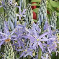 Camassia - Shop Now