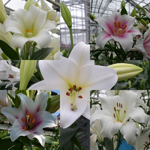 True Giant lily bulbs pack of 5