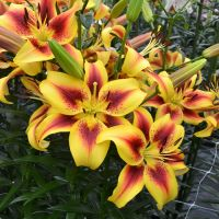 AOA Lily Hybrids - Shop Now
