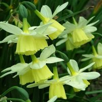 Narcissus small flowered - Shop Now